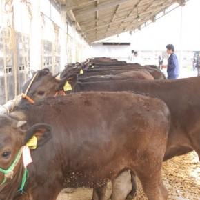 セリの前にどの牛がいいかを骨格や幅を見ます