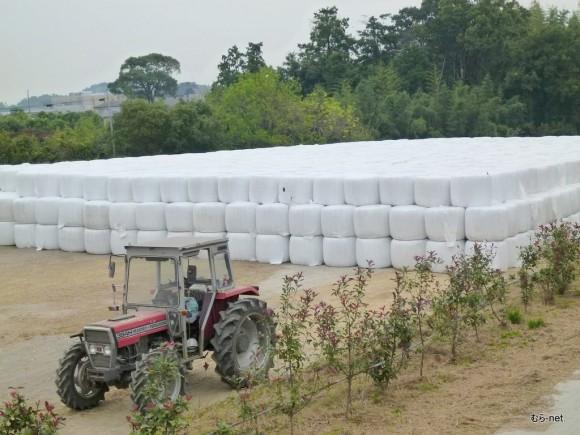 乳酸菌で発酵を待つ飼料稲