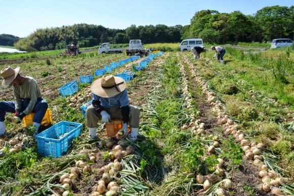 6-玉ねぎ収穫 2013-05-23 15-02-03