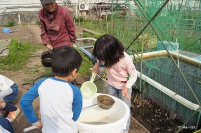 高橋初太郎さんが見ているれんこんの水槽にどじょうを放流しました。