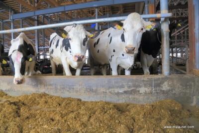 フリーストールの牛◆井口義友(別海)