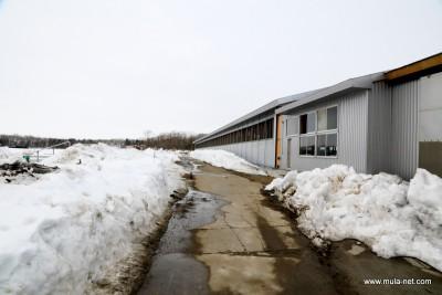 残雪の牛舎