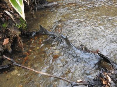 別海実顕地の前の小さな小川にも鮭が遡上してきています。 別海実顕地  井口義友