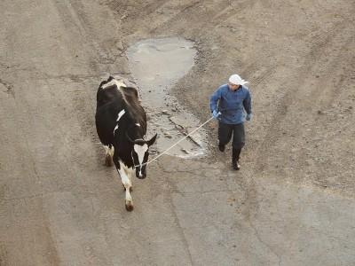 朝の牛移動ツバー君