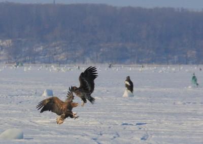 風連湖の大鷲の幼鳥
