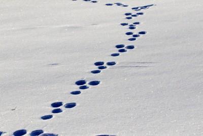 雪上の野ウサギの足跡