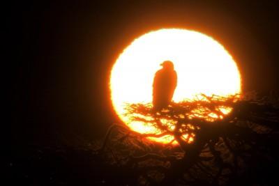 朝の一本松のオジロワシ