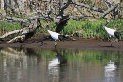 西別川の丹頂鶴