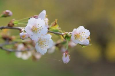 5月10日釧路市桜の開花宣言
