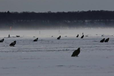 風連湖で漁師さんの氷下待ち網漁が終わるのを待つ猛禽類