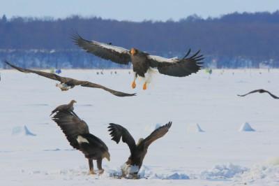 風連湖の猛禽類