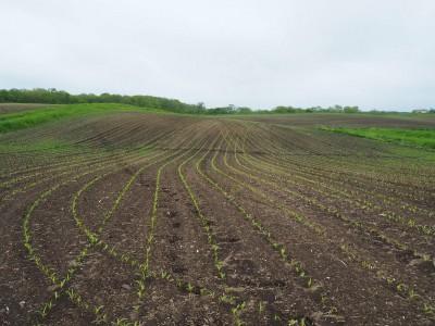 デントコーン畑