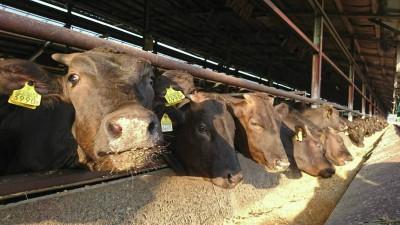 牛舎で元気に飼育されている牛さんたち