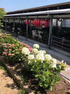 6月の牛舎