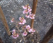 内部川の桜