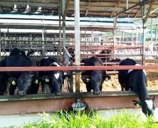 春日山の育成牛、豊里へ出荷始まる