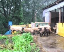 羊が1匹 羊が2匹〜10匹、何匹いるの?【榛名】