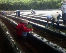 成田実顕地サツマイモの苗植え