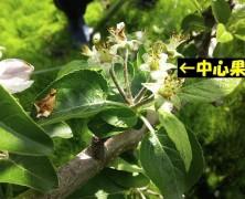 りんご交流花盛り 【飯田】