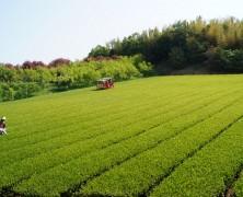 新茶刈り始まる【美里】