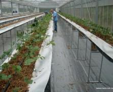 苺ハウスに苗を定植