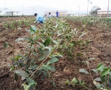お茶の苗木定植