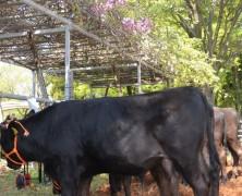 和牛オリンピックに出る牛は?