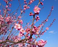 梅の花とともに…