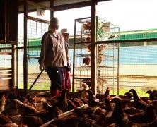 鶏移動〜全国養鶏部育成場「船南」から榛名へ〜