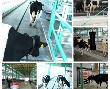 牛たちも新学期✨【春日山】