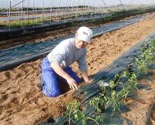 ヤマギシファーム多摩店に、榛名から初めて出荷する(予定の)トマトの定植!!