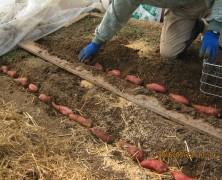 春日山の種芋植え