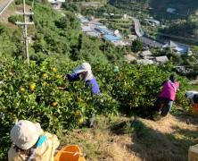 六川みかん収穫始まる
