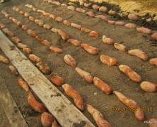 種芋を植えました【春日山】