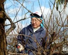 中島さんが梅の木の剪定をしてます!