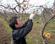 柿収穫に行ってきました 【豊里】