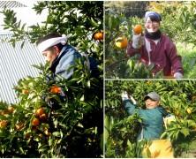 心暖かな六川みかん収穫【交流】