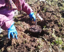 蒼い・・・ブルーベリーを植えました