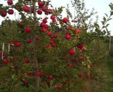 りんご屋の憂鬱