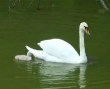 白鳥の雛【豊里】