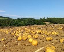 ジャガイモ収穫も終盤です【夕張】